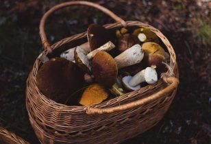 Wicker basket of freshly picked mushrooms.